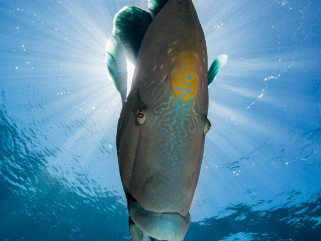 Wally aka Napoleon Humphead Wrasse is a regular visitor when you visit any reef on the Great Barrier Reef and will often pose for photos.
