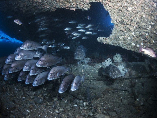 The Yongala shipwreck has one of the most active congregations of fish life seen by many divers