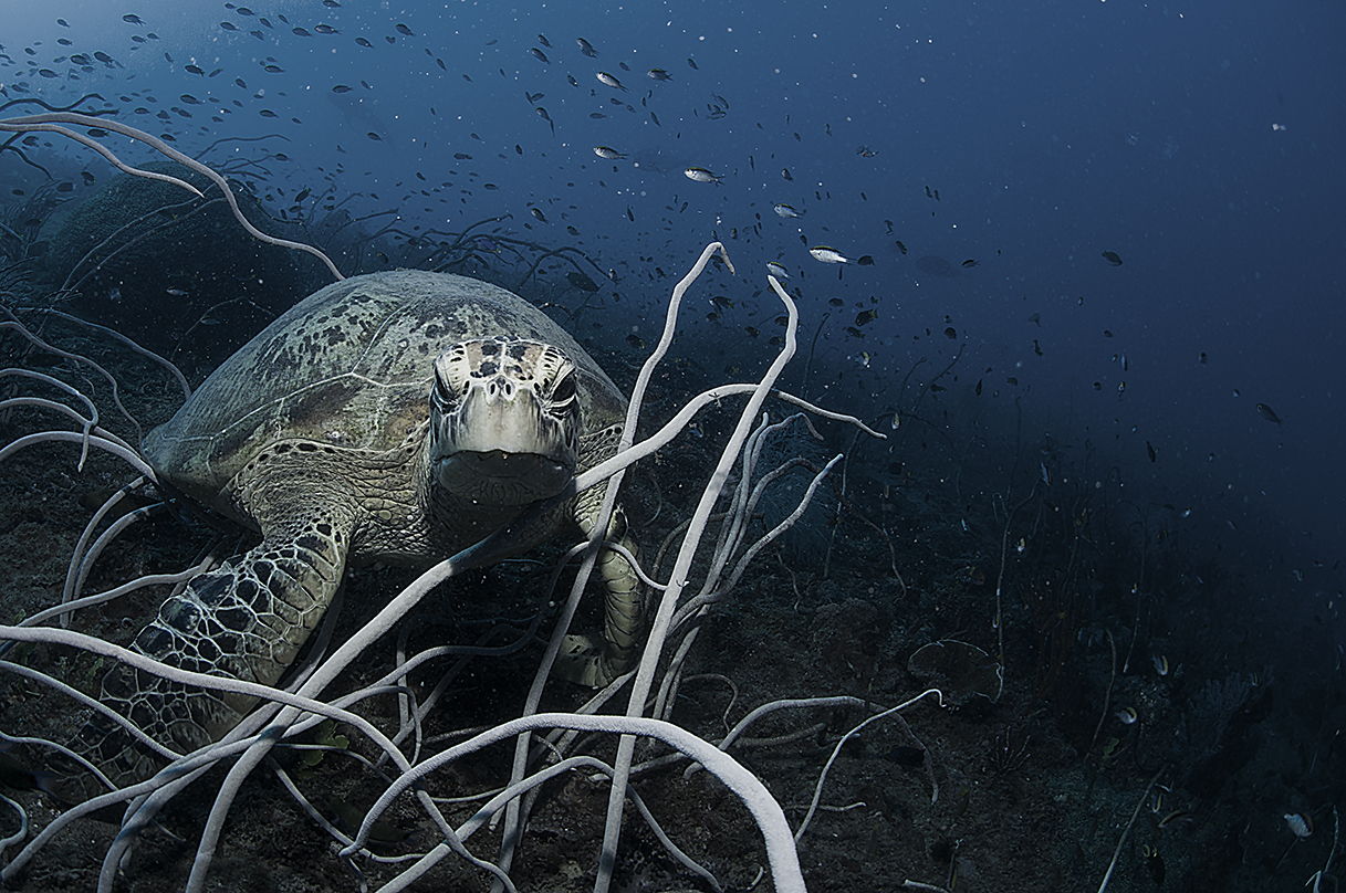 Sea Turtles are regularly seen on the Yongala shipwreck